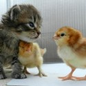 Cute cat and little baby chicks .. Animal bonding, so adorable