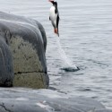 Funny Penguin .. I must go my people need me