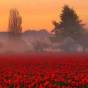 Foggy Tulip Field, Skagit Valley, Washington, USA
