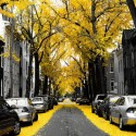 Yellow Ginkgo Trees in Washington, USA