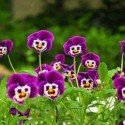 The Smiling Pansies