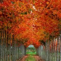 Autumn Tree Tunnel, Washington, USA