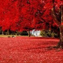 Brilliant Red , Olympia , Washington , USA