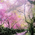 Spring in Conservatory Garden , Central Park , New York , USA