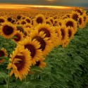 Sunset field of sunflower , Buenos Aires , Argentina