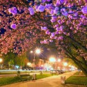 City night scene with Japanese cherry blossom in Uzhgorod City, Ukraine