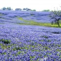 Beautiful Texas bluebonnets in the spring