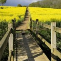 Rapeseed Field at Northiam, East Sussex, England