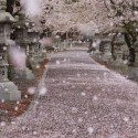 Cherry blossom storm in Gifu, Japan