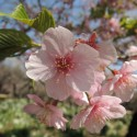 Little cherry blossom shines on in Shinjuku Gyoen National Garden in central Tokyo, Japan