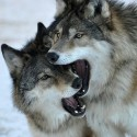 Awesome Wolves