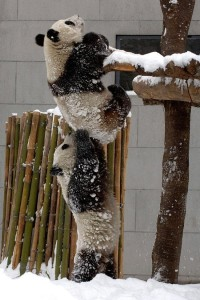 Panda helping his friend up a tree