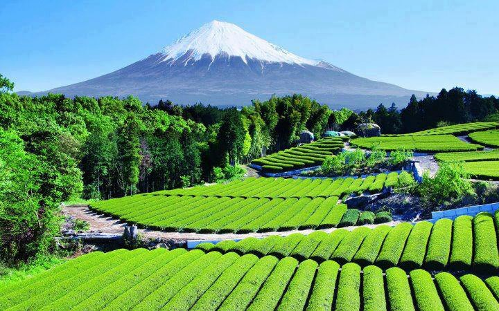 Tea garden near Mount Fuji in Japan