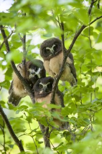 Triple Saw-whet Owls