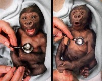 Baby Gorilla Reacts to Cold Stethoscope