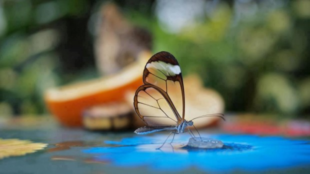 Beautiful glass winged butterfly