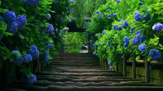 Old Stairs Blue, Hydrangea, Japan