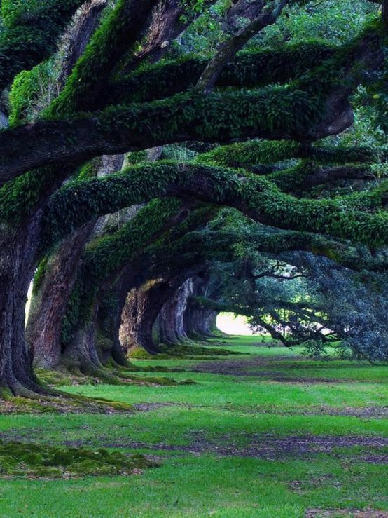 300 year old oak trees, Oak Alley Plantation, Louisiana, USA