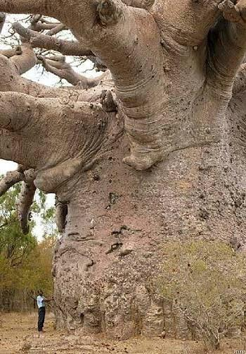 Baobab, The Tree of Life, Africa