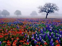 Flower fields of Texas, USA
