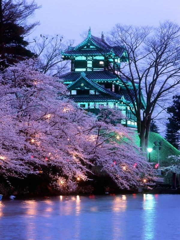 Lovely Cherry blossoms in Japan