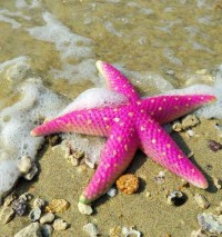 Pink starfish on the beach