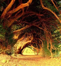 1000 Year Old Yew Tree , Wales