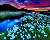 Cotton grass in Landmannalaugar , Iceland