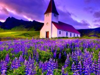 Fields Of Lupine In  Vik y Myrdal, Iceland