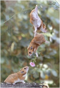 Squirrel giving his girlfriend a flower , The Squirrel Love