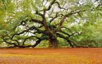 The Angel Oak Tree in Charleston , South Carolina, USA