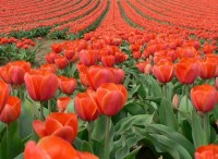 Tulip Fields , Amsterdam , Netherlands