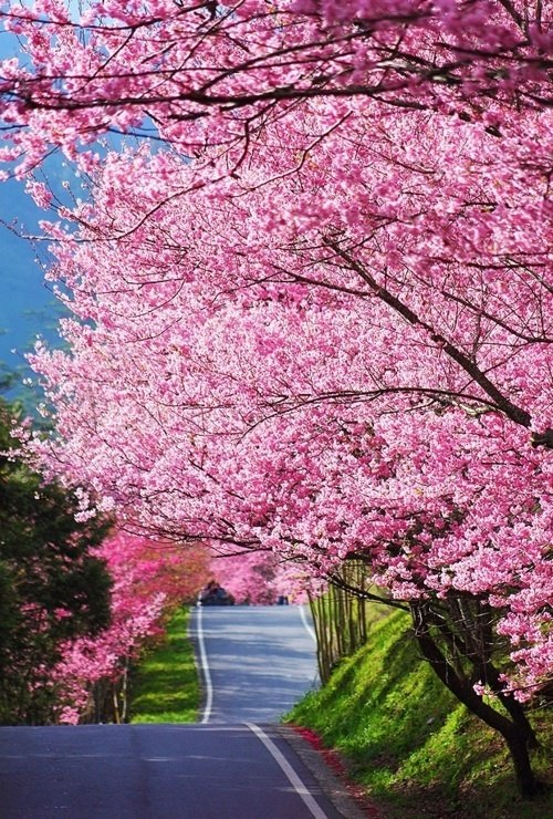 Wonderful Cherry Blossom