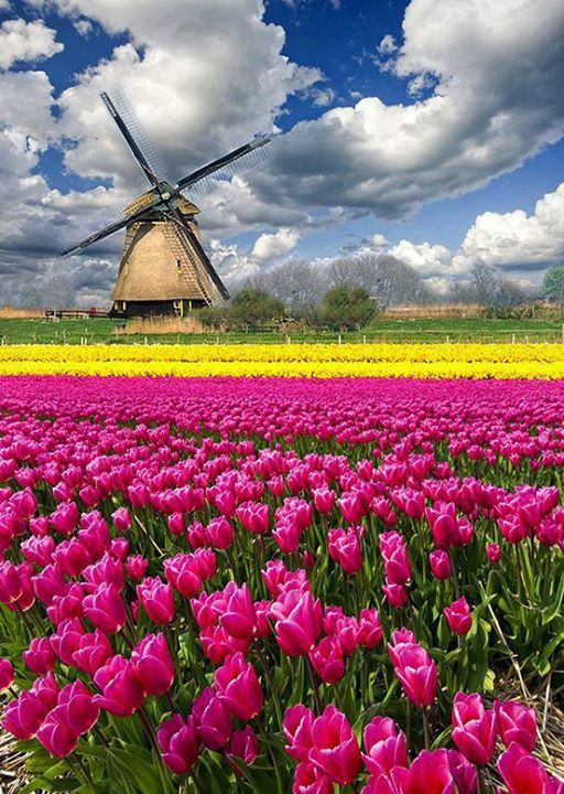 Wonderful View of Tulip Fields, The Netherlands