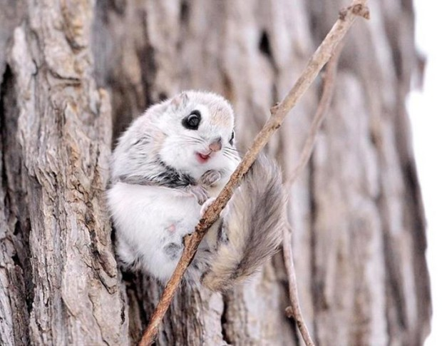 Japanese flying squirrel