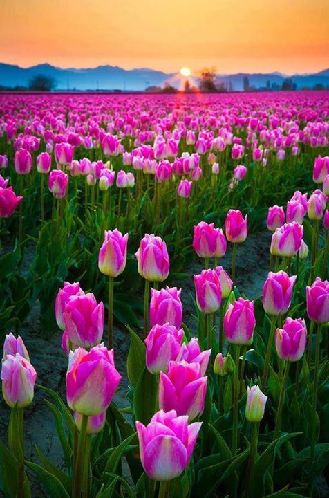 Take in tulip season in Skagit Valley, Washington, USA