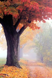 Foggy Autumn Morning, Maple Trees, Ontario, Canada