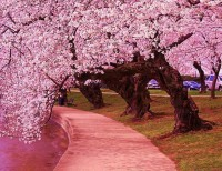 Japanese Cherry Trees along side the Jefferson Memorial Tidal Basin, Washington, USA