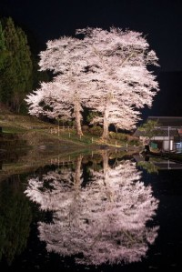 Cherry tree at Kadowasa, Gifu, Japan