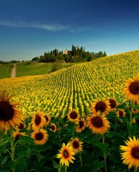 Sunflower Field near San Gimignano, Tuscany, Italy