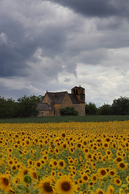 Sunflowers in Dordogne, France