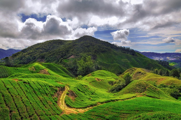 A road in the tea fields in cameron Highlands ,Malaysia