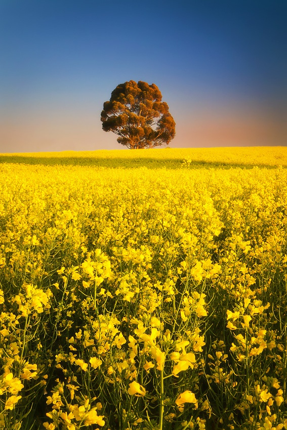 Golden Dawn, Clare Valley, South Australia