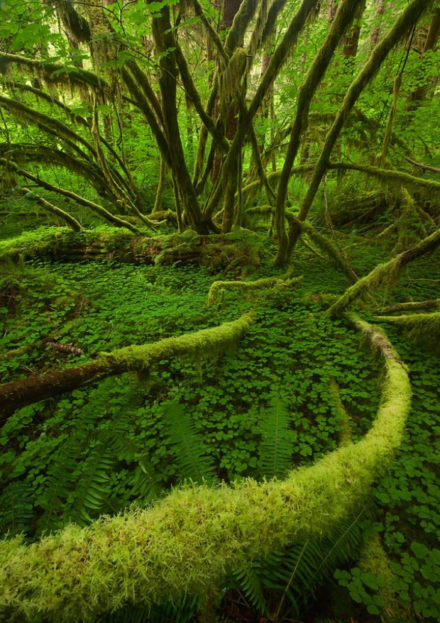 Rain forest, Olympic National Park, Washington, USA