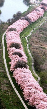 Tunnel of Cherry Tree, Kyoto, Japan