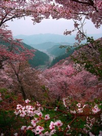 Cherry blossoms, Mount Yoshino, Nara, Japan
