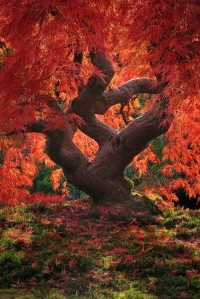 Dragon Tree, Japanese Garden, Portland, Oregon, USA