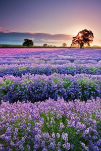 Sunset lavender fields, Provence, France