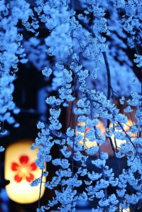 Cherry blossoms at night in Kyoto, Japan