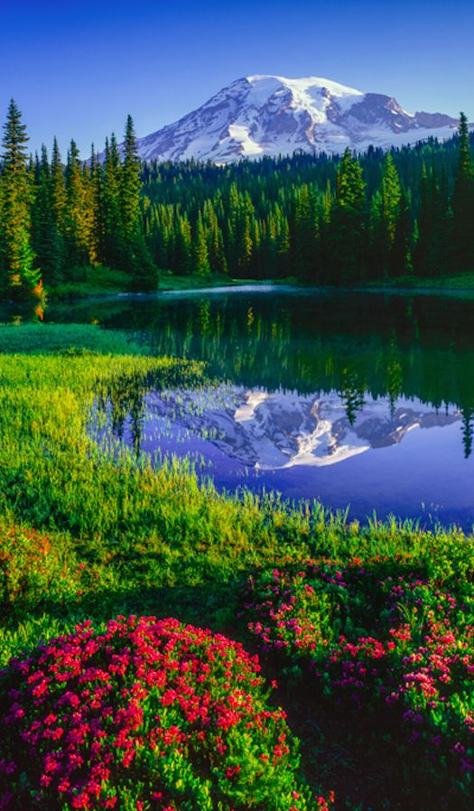Mt. Rainier and red heather at Reflection Lakes in Mount Rainier National Park, Washington, USA